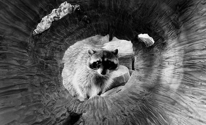 1 x Cover raccoon